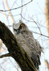 Great-horned Owlet @ Highbanks Metro Park - April 2005